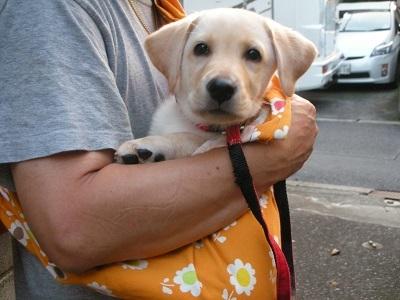 スリングに入る子犬