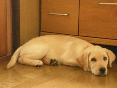 床に伏せる子犬