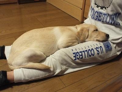 安心して眠る子犬