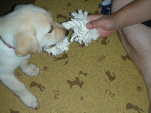 ロープで遊ぶ子犬
