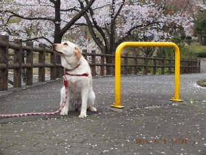 お花見で空気のにおいを嗅ぎぐ子犬
