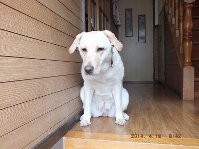 見送りながら寂しそうな犬