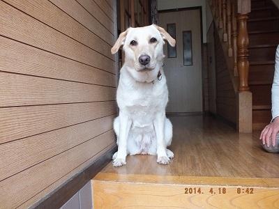 玄関で家族が出かけるのを見送る犬