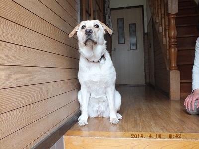 名前を呼ばれ見上げる犬