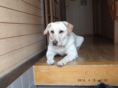 家族を見送り寂しそうな犬