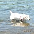 水遊びをする犬