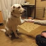 犬に芸を教えてみた!お手ができるならハイタッチもできる?