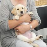 盲導犬繁殖犬 イーリィの赤ちゃん
