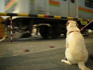 踏切で電車が通り過ぎるのを待つ子犬