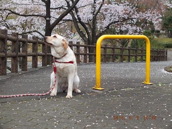 お花見で風のにおいを嗅ぐ子犬