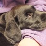 寝る仔は育つ 膝の上で寝る犬