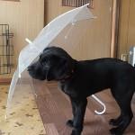 君は誰? 子犬に傘を見せてみる