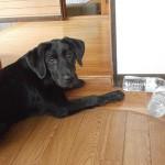 子犬と遊ぶ ペットボトルに再挑戦