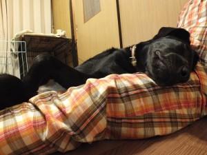膝の上で眠る子犬