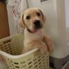 洗濯かごに入れられる子犬