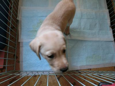 トイレで排泄できた子犬