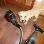 掃除機にじゃれつく子犬