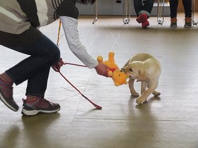 おもちゃで引っ張りっこする子犬