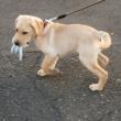 おもちゃを咥えて歩く子犬
