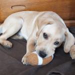 犬が頭を使って遊べる!おもちゃ探しゲーム