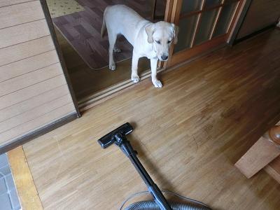 掃除機が気になる子犬