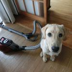 掃除機にじゃれつく子犬 その後
