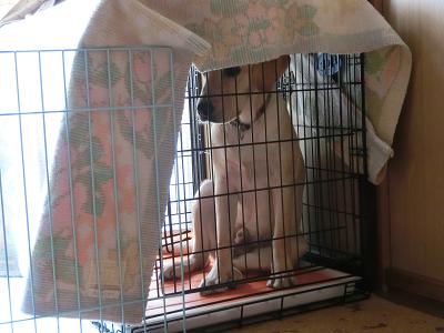 ケージの中で座る子犬