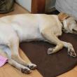 横向きに眠る犬