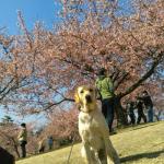 河津桜でお花見 最後の休日
