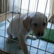 子犬のトイレトレーニング
