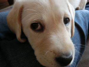 膝の上で甘える子犬