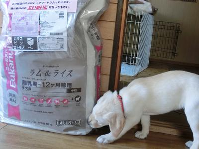 袋入りフードの匂いを嗅ぐ子犬