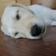 床に寝る子犬