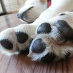 犬の肉球のひび割れ治療はワセリンでいいの?カサカサの原因は何?