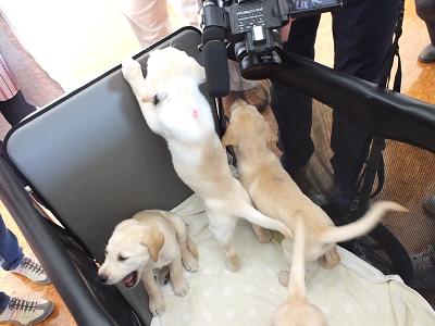 カートに乗る子犬たち