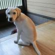 玄関で座る子犬