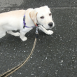 散歩する子犬