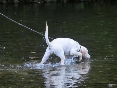 水に慣れてきた子犬