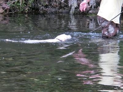 川で泳ぐ子犬