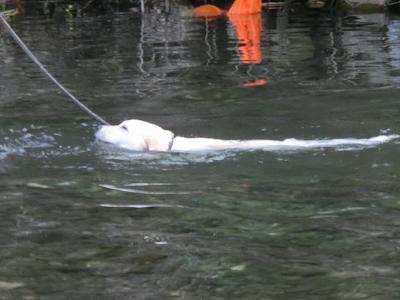 すいすい泳ぐ子犬
