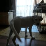 盲導犬パピー トイレトレーニング WAIT ONE TWO