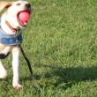 ボール遊びをする子犬