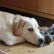 伏せておもちゃを噛む子犬