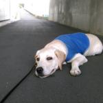 犬が散歩中に歩かなくなる理由と対策