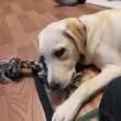 おもちゃを噛みながら眠そうな子犬