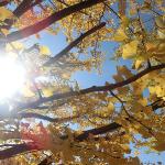 犬連れ国営昭和記念公園 黄金色の銀杏並木散策
