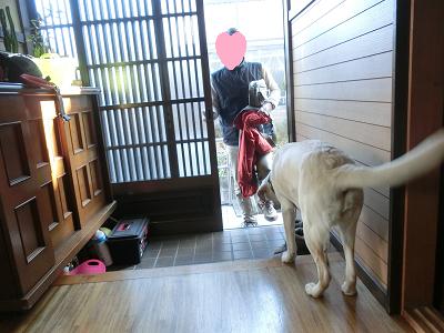 帰宅する家族を玄関で出迎える子犬
