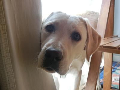 カーテンの隙間からのぞき込む子犬