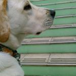 犬の身体にとって階段の昇降は負担 階段を怖がるのは当然かも