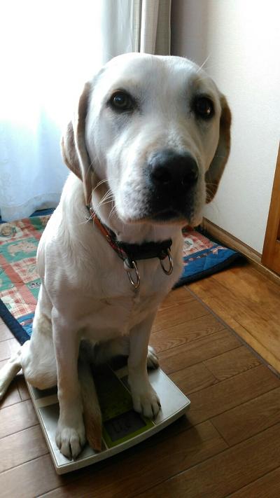 体重計に乗る子犬